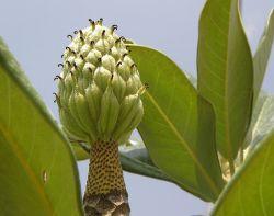 Magnolia grandiflora_P8150064-1a