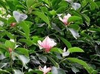 Magnolia liliflora_IMG_2642-001