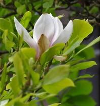 Magnolia liliflora_IMG_3456 (3)