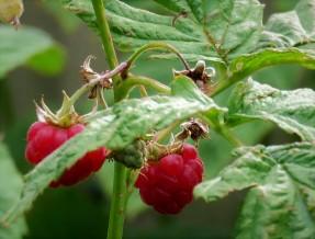 Malina_obykn_Rubus idaeus_IMG_3944-001 (2)