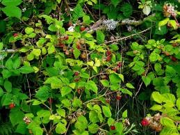 Malina_obykn_Rubus idaeus_IMG_4946 (2)
