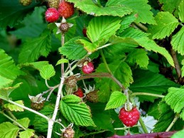 Malina_obykn_Rubus idaeus_IMG_4948 (2)
