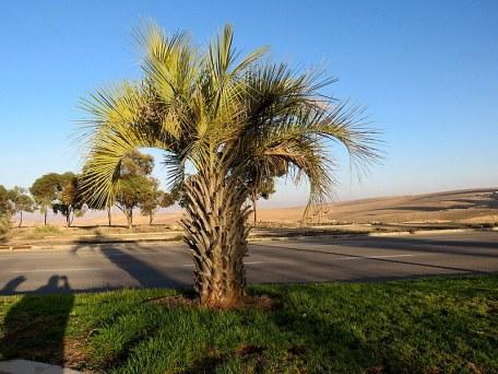 Palm_Butia capitata IMG_7244-001