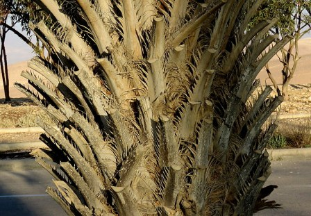 Palm_Butia capitata IMG_7245-003