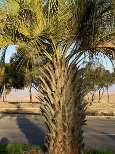 Palm_Butia capitata IMG_7246-001