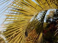 Palm_Butia capitata IMG_7247-001