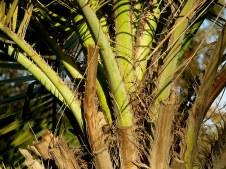 Palm_Butia capitata IMG_7248-001