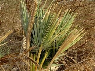 Palm_Dum_Hyphaene thebaica IMG_7512-001