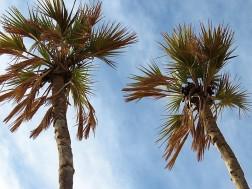Palm_Dum_Hyphaene thebaica IMG_7518 (2)