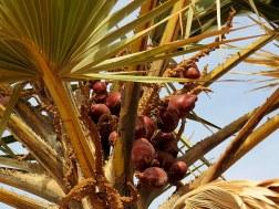 Palm_Dum_Hyphaene thebaica IMG_7525-001