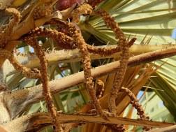 Palm_Dum_Hyphaene thebaica IMG_7531-001