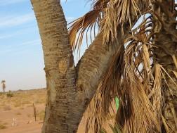 Palm_Dum_Hyphaene thebaica IMG_7541 (2)