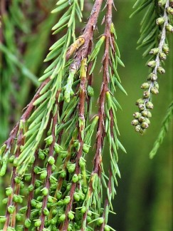 Taxodium distichum_IMG_0652 (3)