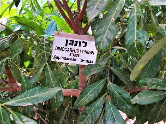 Dimocarpus longan_IMG_8100 (2)
