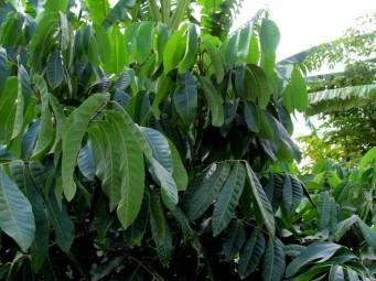 Dimocarpus longan_IMG_8101 (2)