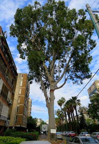 Eucalyptus Citriodora IMG_7693-001