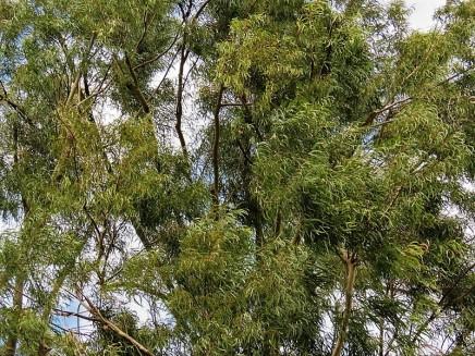 Eucalyptus Citriodora IMG_7697 (2)