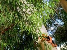 Eucalyptus Citriodora IMG_7698-001