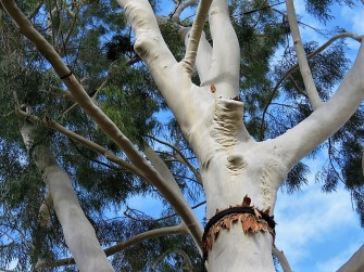 Eucalyptus Citriodora IMG_7707 (2)