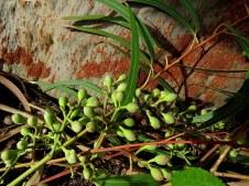 Eucalyptus Citriodora IMG_7732-001