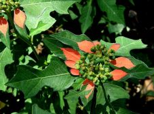 Euphorbia heterophylla_kr-zel_P7180109_c_