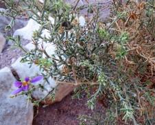 Fagonia arabica IMG_7649-001 (2)