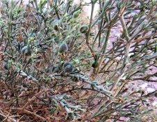 Fagonia arabica IMG_7649-005 (2)-a