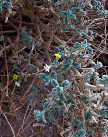 Heliotropium arbainense_IMG_7643-001 (3)
