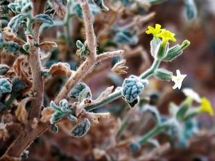 Heliotropium arbainense_IMG_7645-001 (3)