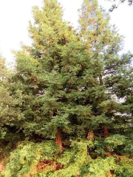 Juniperus excelsa El_Manara_IMG_9729-001