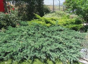 Juniperus Mojjeveln_IMG_2409-001