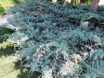 Juniperus Mojjeveln_IMG_2435 (2)