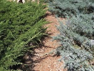 Juniperus Mojjeveln_IMG_3732 (3)