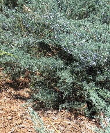 Juniperus Mojjeveln_IMG_3733-001 (2)