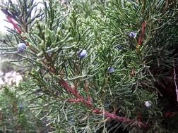 Juniperus sabina_semiglobosa_IMG_6497 (2)