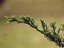 Juniperus_Mojjev_IMG_9711