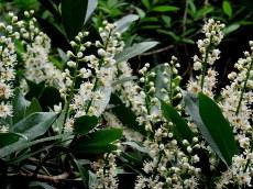 Lavrovish_Prunus laurocerasus_IMG_3302-001