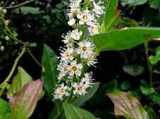Lavrovish_Prunus laurocerasus_IMG_3311 (2)
