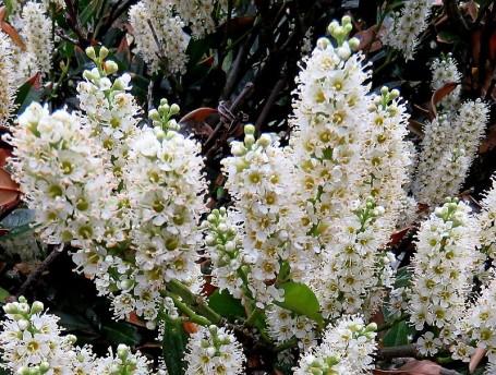 Lavrovish_Prunus laurocerasus_IMG_3362 (3)