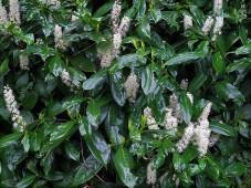 Lavrovish_Prunus laurocerasus_IMG_6422 (3)