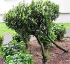 Lavrovish_Prunus laurocerasus_IMG_6427 (2)