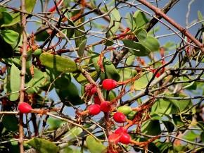 Loranthus acaciae_IMG_5918 (2)
