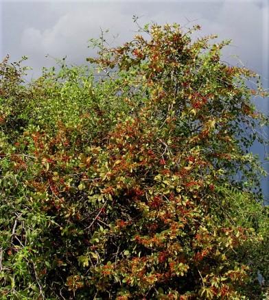 Loranthus acaciae_IMG_5961 (2)