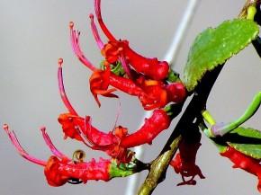 Loranthusacaciae_Plicosepalusacaciae_IMG_1352 (3)