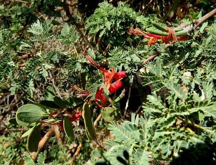 LoranthusPlicosepalus acaciae IMG_7379-001
