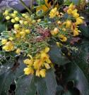 Mahonia aquifolium_IMG_3985 (3)
