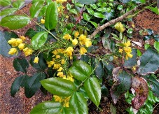 Mahonia aquifolium_IMG_5648 (2)