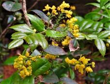 Mahonia aquifolium_IMG_5651 (2)