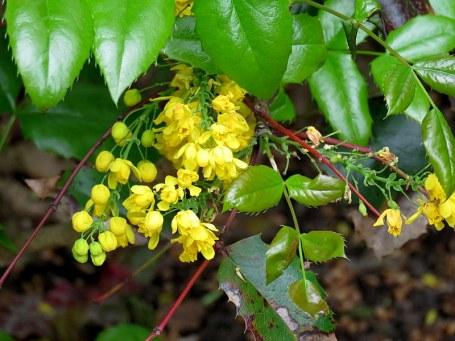 Mahonia aquifolium_IMG_5656-001