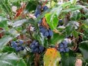 Mahonia aquifolium_yagod_IMG_4226-003